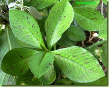 Synadenium in vegetazione