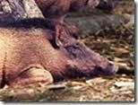 Pig-Boar