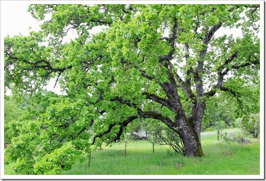 130407_Redding_Quercus-lobata_24