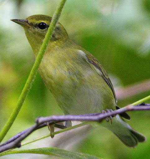 9-22-09, Horse weed by our creek, male TN Warbler