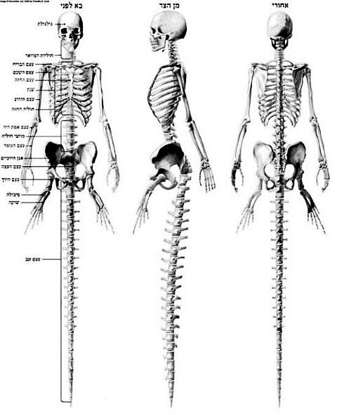 Анатомия русалок - скелет