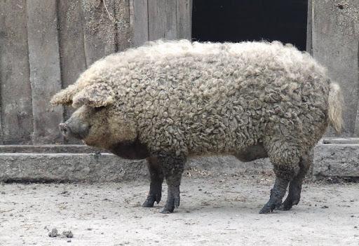 Mangalitsa Pig Looks Like Sheep and Yields Prized Meat - YouTube