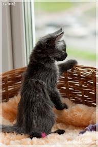 Фото история котят мейн кун в возрасте 7,5 недель 30