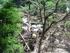 2013.08.04-010 ibis sacrés