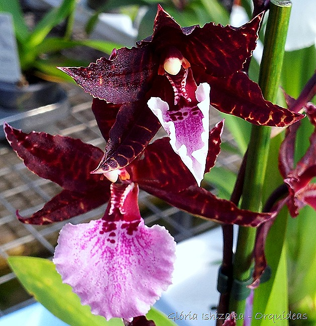 Glória Ishizaka - orquideas 18