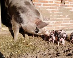 Amazing Pictures of Animals, photo, Nature, Exotic, Funny, Incredibel, Zoo, Piétrain, Domestic pig, Mammals, Alex (7)