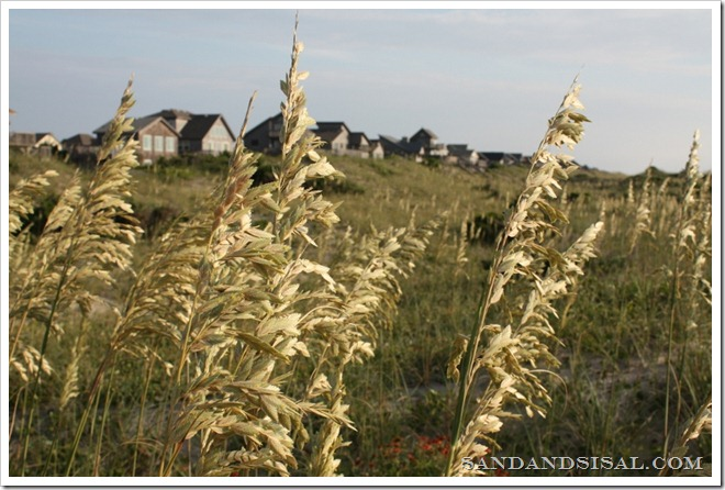 Hatteras Island Sea Oats