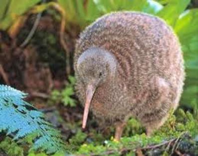 Amazing Pictures of Animals, Photo, Nature, Incredibel, Funny, Zoo, Apteryx, Kiwis, Bird, Aves, Alex (9)