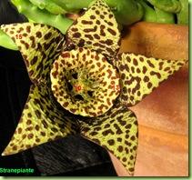 anatomia Asclepiadaceae orbea variegata fiore