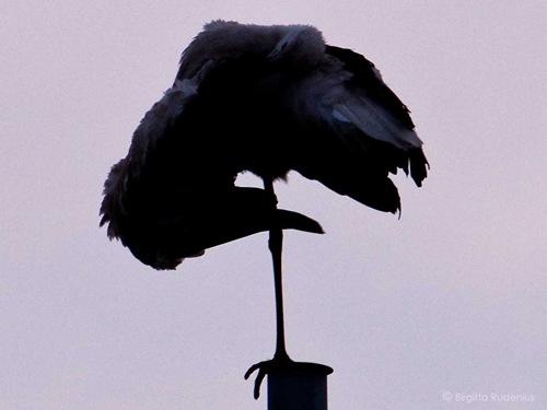 bird_20110702_stork3a