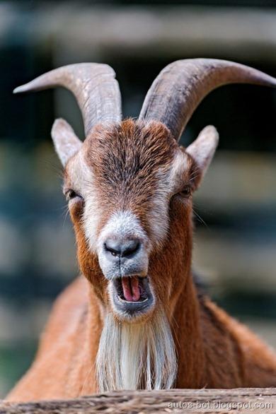 goat-shoch
