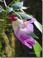 Flor papagaio da Tailandia 02