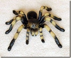 plastic spider