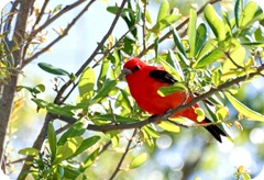 Scarlet_Tanager-1
