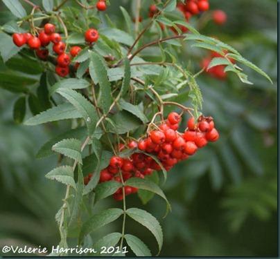 40-rowan-berries