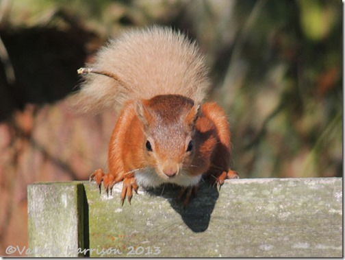 red-squirrel-10