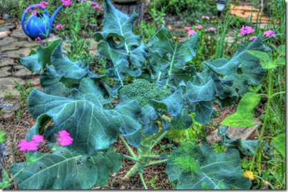 broccoli_HDR 900