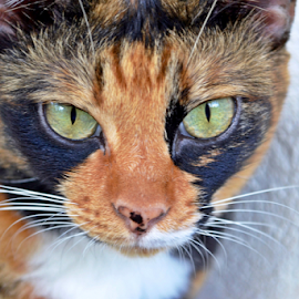 by Claudia Mueller - Animals - Cats Portraits