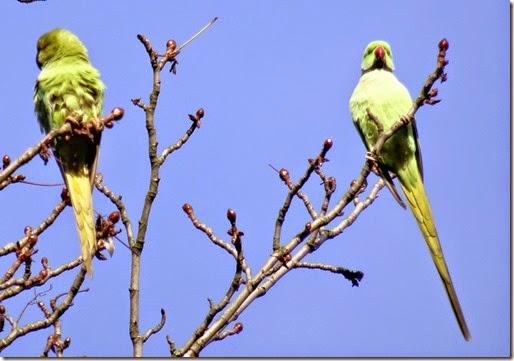 parc montsouris parrots 112214 00001