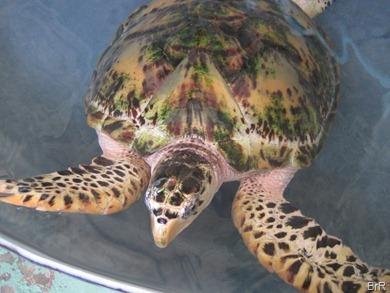 Bequia_turtlefarm_1