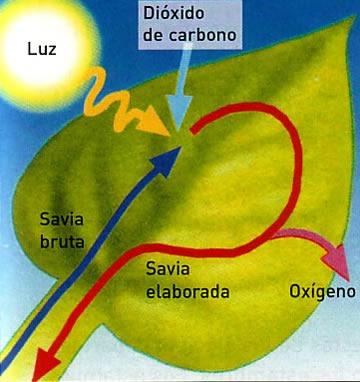 savia bruta y savia elaborada - Fotosintesis