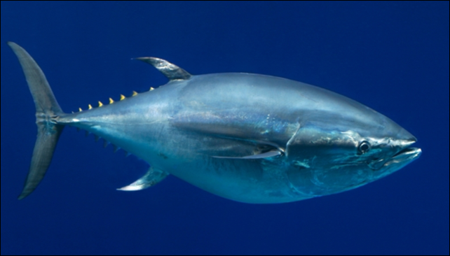 The conservation group IUCN warns that overfishing of the Pacific bluefin tuna is driving it towards extinction. Photo: Monterey Bay Aquarium / Randy Wilder