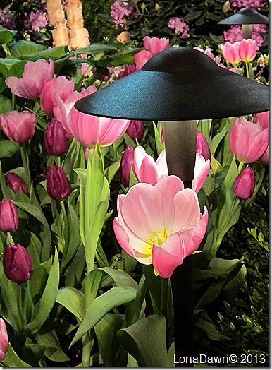 Tulip_Beauty