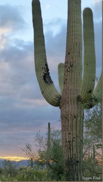 Saguaro NP West_094
