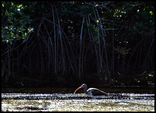 12 - Young Ibis