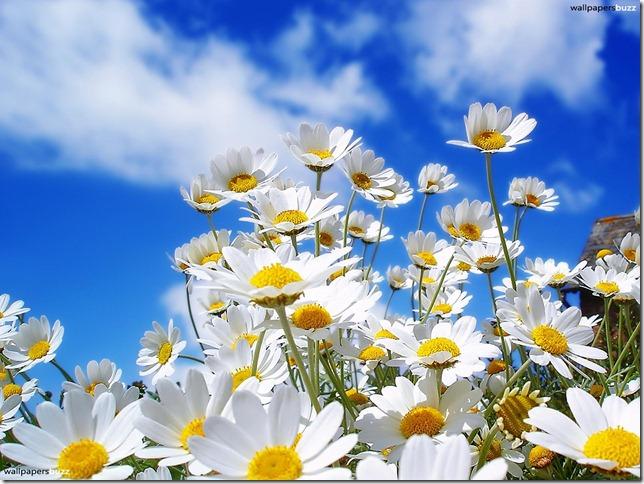 b_blooming-chamomile