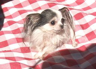 بوبو أصغر كلبة في العالم