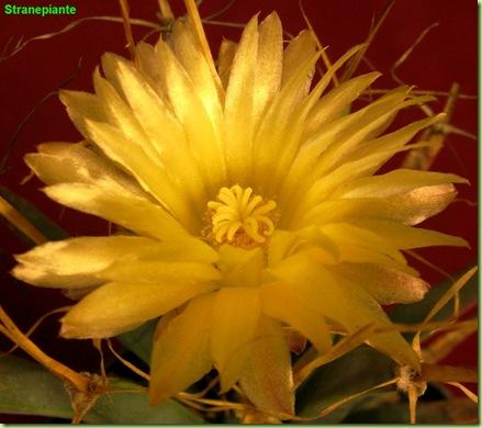 Leuchtenbergia principis fiore