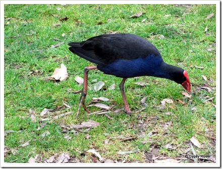 Native Pukeko's roam wild in Western Springs park.