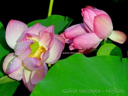 Glória Ishizaka - ninféia 6