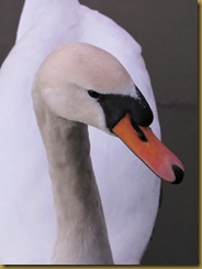 IMG_0092 Swan