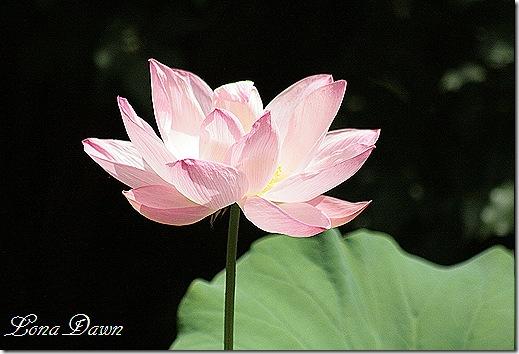 LF_Lotus