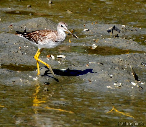 8. yellowlegs foraging-kab