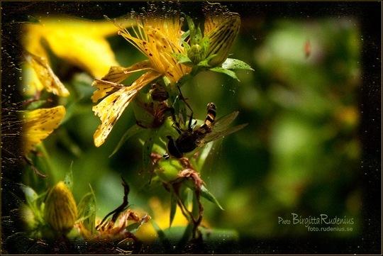 pm_20110802_blomfluga