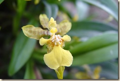 Oncidium longipes