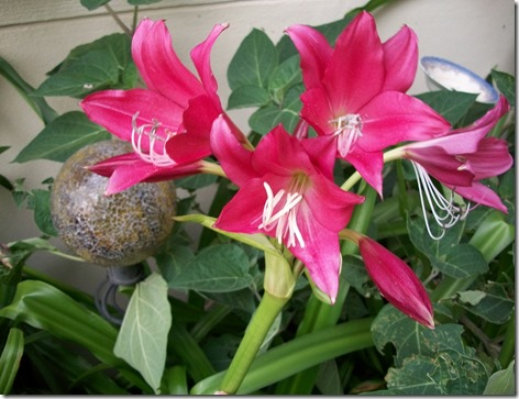 moonvine and lilies 013