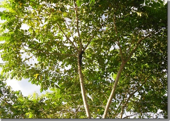 árvore de ingá