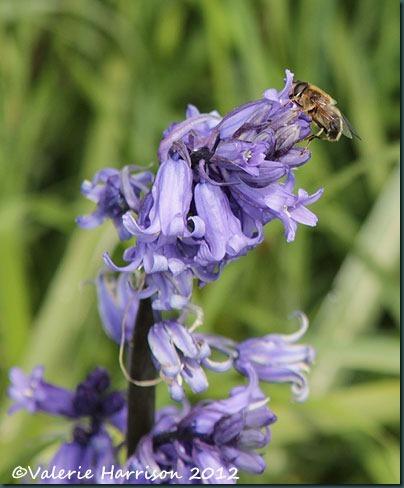 17-bluebell