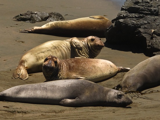 Point Piedras Blancas Elephant Seal Colony