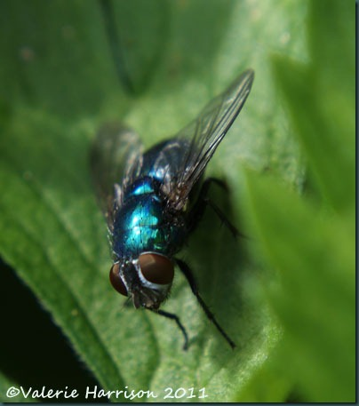 bluebottle Calliphora vomitoria