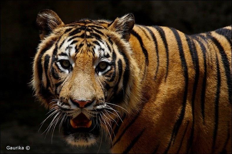 bengal-tiger-1