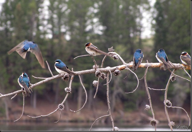 Tree Swallows and Cliff Swallows at Tunkwa