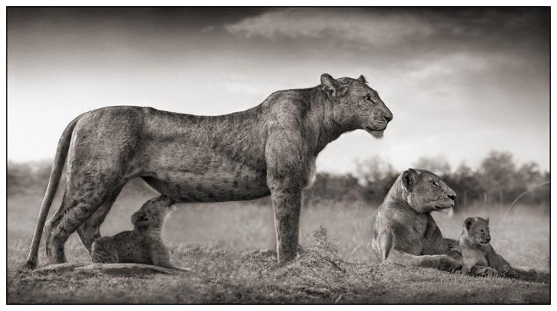 25 Lioness with Cub Feeding