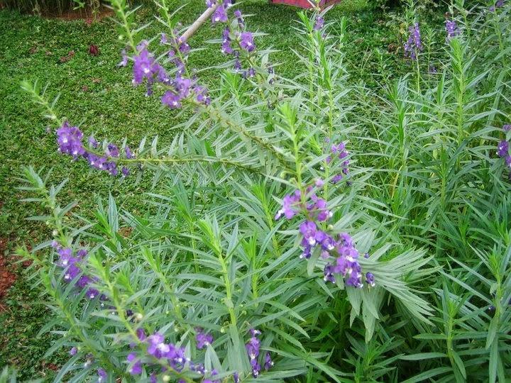 Jual Pohon Lavender Tanaman Hias Pengusir Nyamuk Murah | Pembuat Taman ...