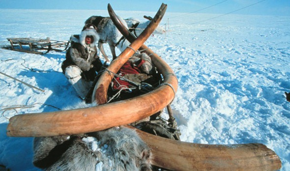 Woolly mammoth tusks dug up from Siberian permafrost in 1999
