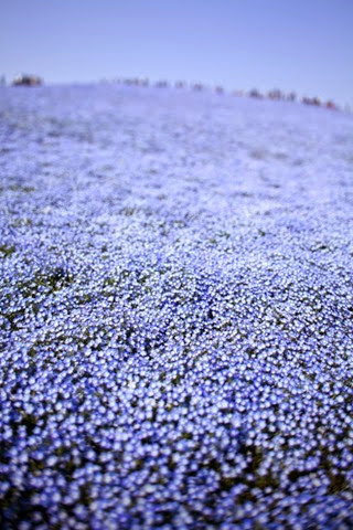 flores azuis do japão